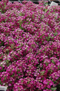 Wonderland Deep Purple Sweet Alyssum flowers