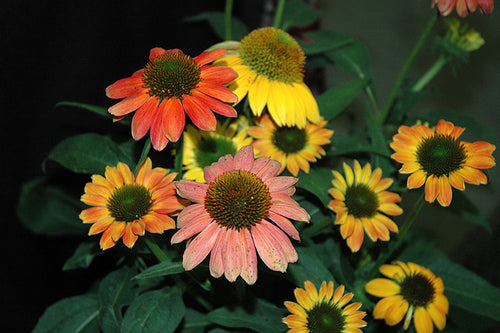Cheyenne Spirit Coneflower flowers