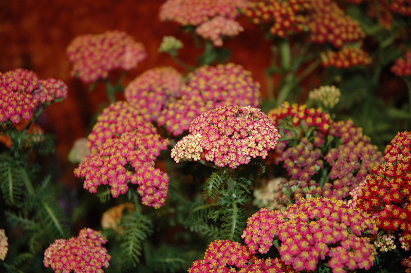New Vintage Rose Yarrow flowers