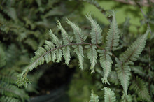 Load image into Gallery viewer, Applecourt Painted Fern foliage