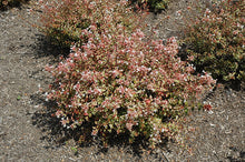 Load image into Gallery viewer, Sunshine Daydream Abelia in bloom