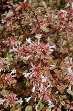 Load image into Gallery viewer, Sunshine Daydream Abelia flowers