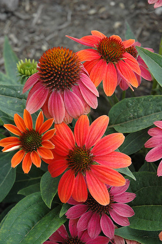Sombrero® Hot Coral Coneflower flowers