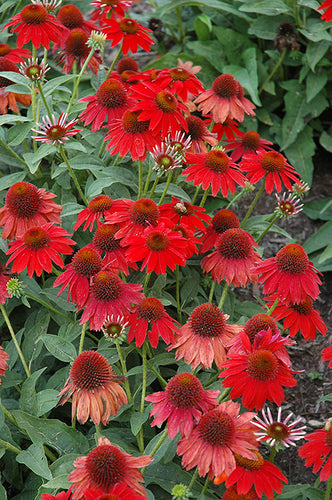 Sombrero® Salsa Red Coneflower flowers