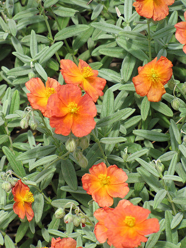 Fire Dragon Rock Rose flowers