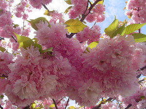 Kwanzan Flowering Cherry flowers