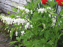 Load image into Gallery viewer, White Bleeding Heart in bloom