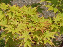Load image into Gallery viewer, Coral Bark Japanese Maple foliage