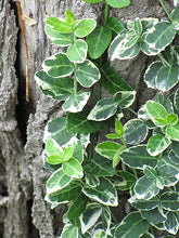Load image into Gallery viewer, Emerald Gaiety Wintercreeper foliage