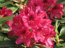 Load image into Gallery viewer, Nova Zembla Rhododendron flowers