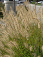 Load image into Gallery viewer, Hameln Dwarf Fountain Grass flowers