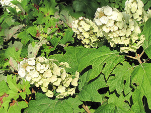 Snow Queen Hydrangea flowers