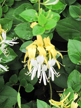 Load image into Gallery viewer, Hall's Japanese Honeysuckle flowers