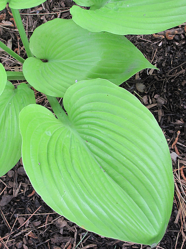 Sum and Substance Hosta foliage