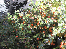 Load image into Gallery viewer, Lowfast Cotoneaster fruit