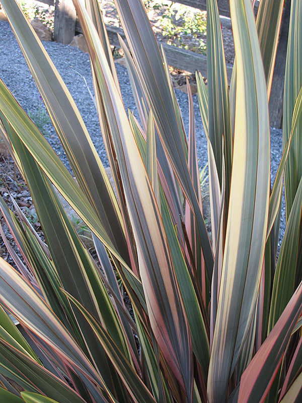 Rainbow Sunrise New Zealand Flax foliage