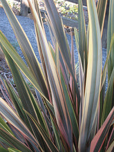 Load image into Gallery viewer, Rainbow Sunrise New Zealand Flax foliage