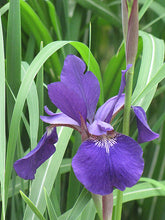 Load image into Gallery viewer, Caesar's Brother Siberian Iris flowers
