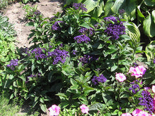 Load image into Gallery viewer, Fragrant Delight Heliotrope in bloom