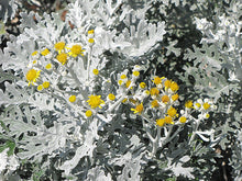 Load image into Gallery viewer, Silver Dust Dusty Miller flowers