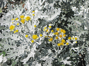 Silver Dust Dusty Miller flowers
