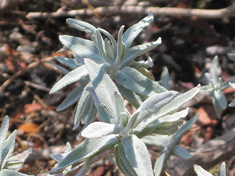 Purple Sage foliage