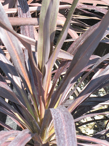 Renegade Cordyline foliage