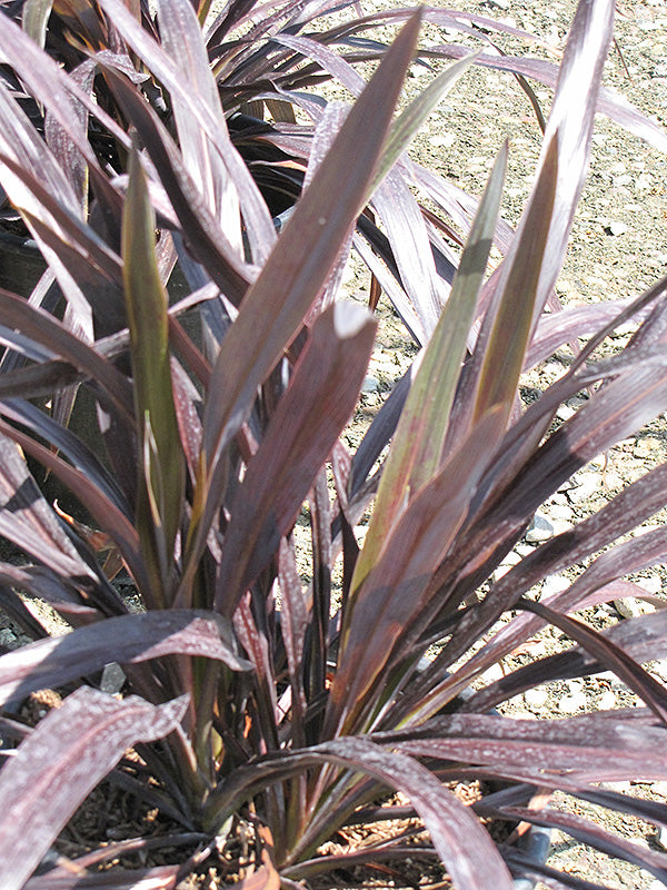 Renegade Cordyline