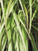 Load image into Gallery viewer, Morning Light Maiden Grass foliage