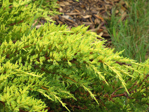 Daub's Frosted Juniper foliage
