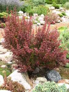 Orange Rocket Japanese Barberry