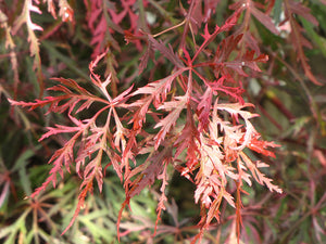 Hana Matoi Cutleaf Japanese Maple foliage