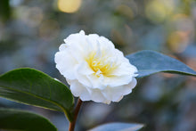 Load image into Gallery viewer, Buttermint Camellia flowers