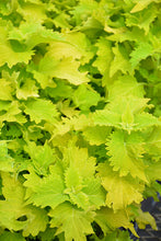 Load image into Gallery viewer, Wasabi Coleus foliage