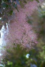 Load image into Gallery viewer, Royal Purple Smokebush flowers
