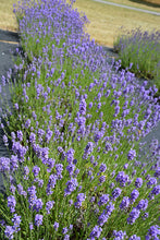 Load image into Gallery viewer, Hidcote Blue Lavender in bloom