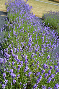 Hidcote Blue Lavender in bloom