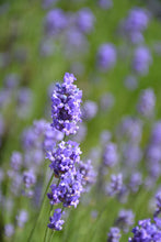 Load image into Gallery viewer, Hidcote Blue Lavender flowers