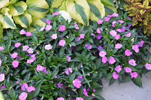 Load image into Gallery viewer, SunPatiens® Compact Orchid New Guinea Impatiens in bloom