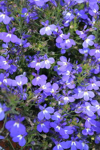 Hot Springs™ Sky Blue Lobelia flowers