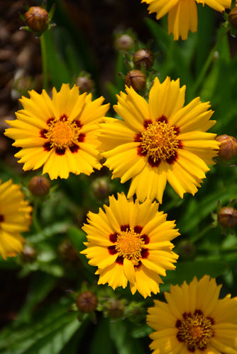 Sunfire Tickseed flowers