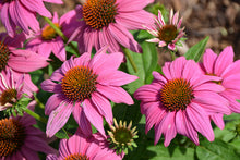 Load image into Gallery viewer, PowWow Wild Berry Coneflower flowers