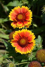 Load image into Gallery viewer, Arizona Sun Blanket Flower flowers