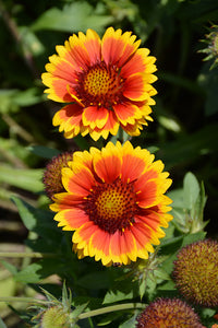 Arizona Sun Blanket Flower flowers