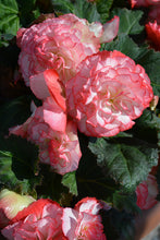 Load image into Gallery viewer, Nonstop® Rose Petticoat Begonia flowers