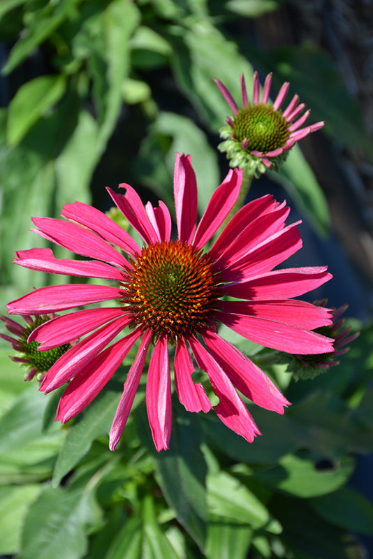 Kismet® Raspberry Coneflower flowers