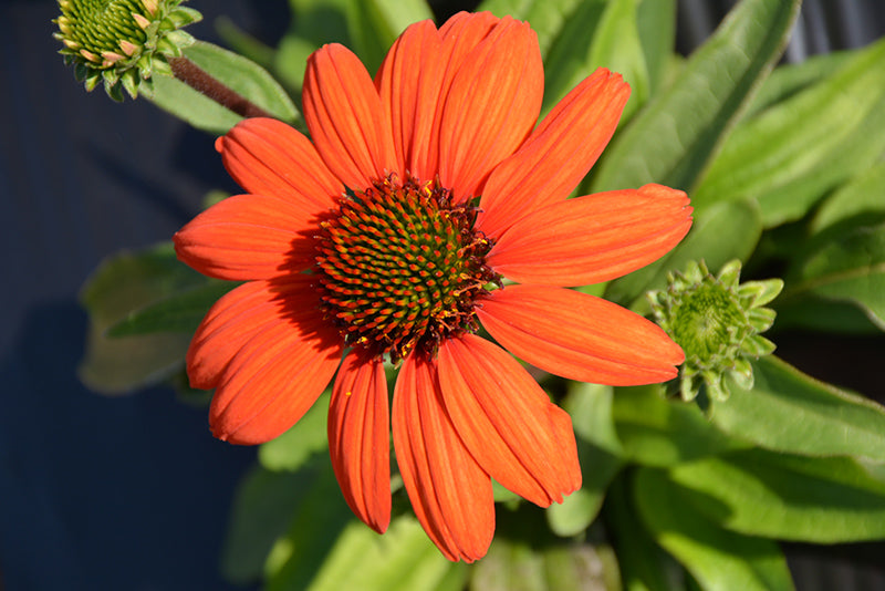 Kismet® Intense Orange Coneflower flowers