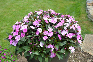 SunPatiens® Compact Orchid New Guinea Impatiens in bloom