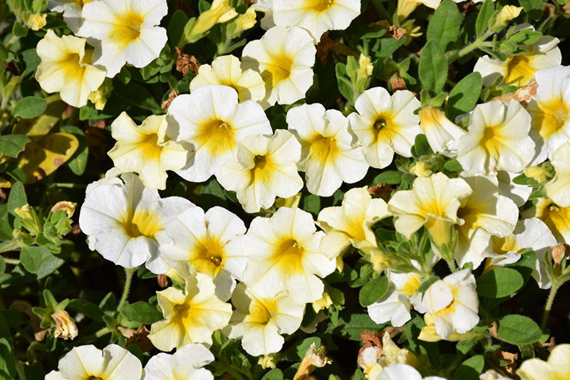 Million Bells® Butter Pop Calibrachoa flowers