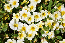 Load image into Gallery viewer, Million Bells® Butter Pop Calibrachoa flowers